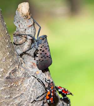 leaf hopper and spotted lanternfly PA 300-2