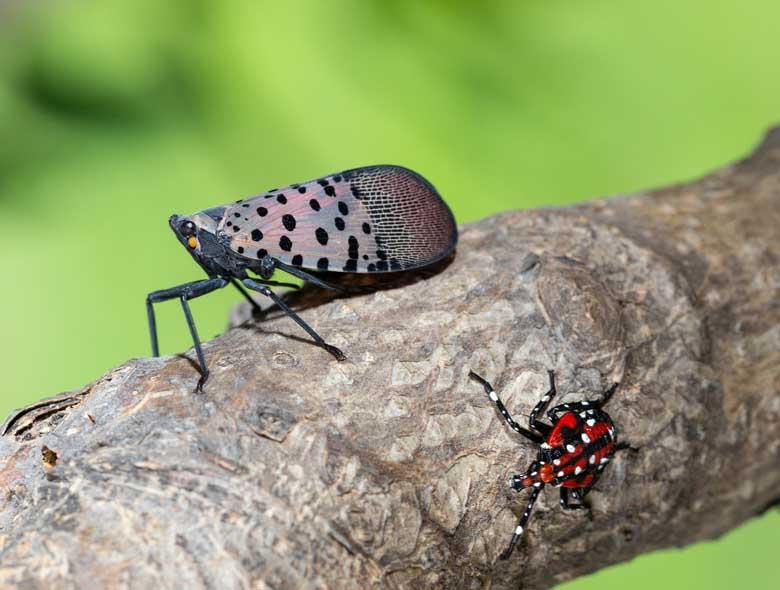 spotted lanternfly and leaf hopper 780